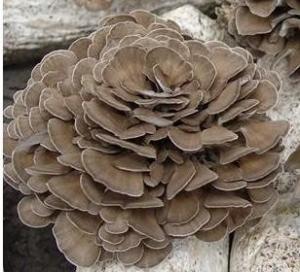 China Organic Grifola frondosa powder / Organic Maitake mushroom powder on sale