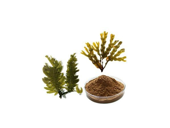 Buy Brown Alga Extract at wholesale prices